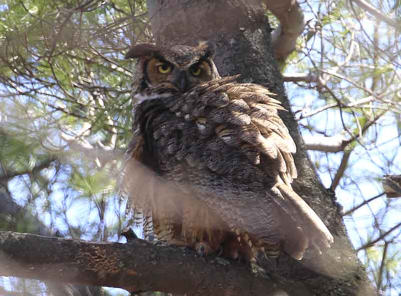 a Great-horned Owl at Fresh Pond